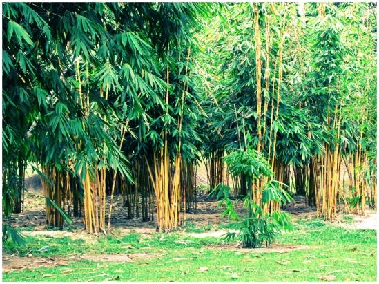 Bambusetum05
