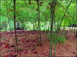 bamboopark12