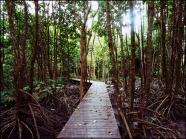 mangrove02