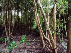 mangrove05