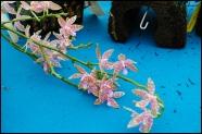 orchidfest05